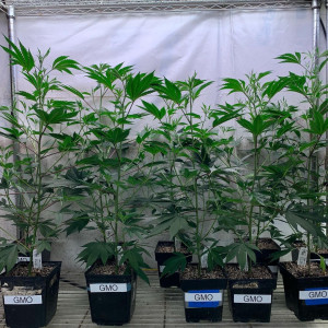 Photo for classified ad START THE GROWING SEASON WITH HEALTHY CLONES OR TEENS TEXT 669-228-4722